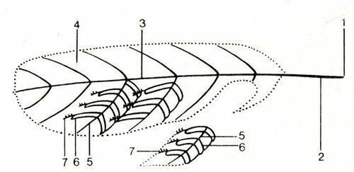 Рис. 9: Строение пера