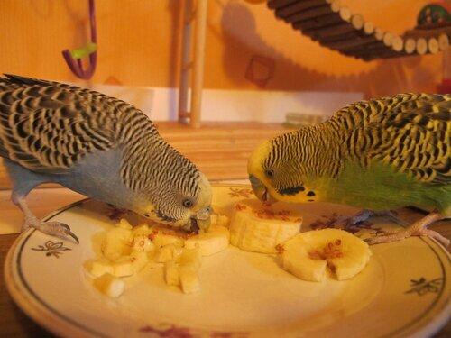 Чем кормить попугая в домашних условиях список 59